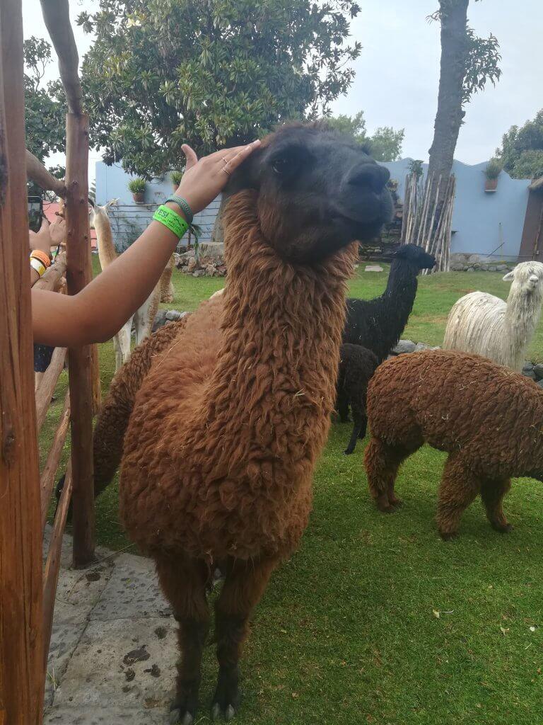 Innocent llama